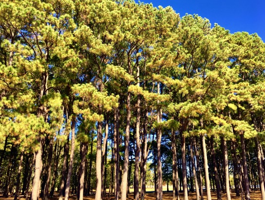 2016-10-23-pines