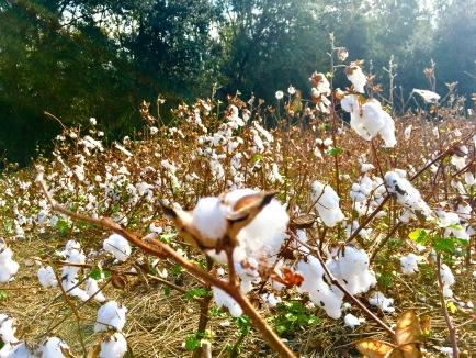 2016-11-12-cotton