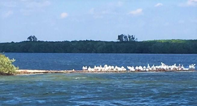 2017-1-21-pelicans