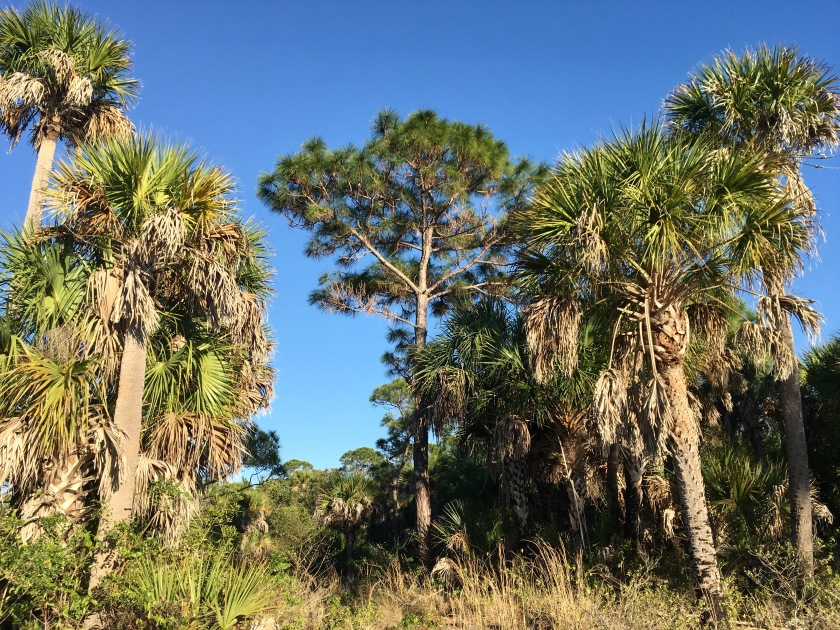 2017-1-24-palms-and-pines