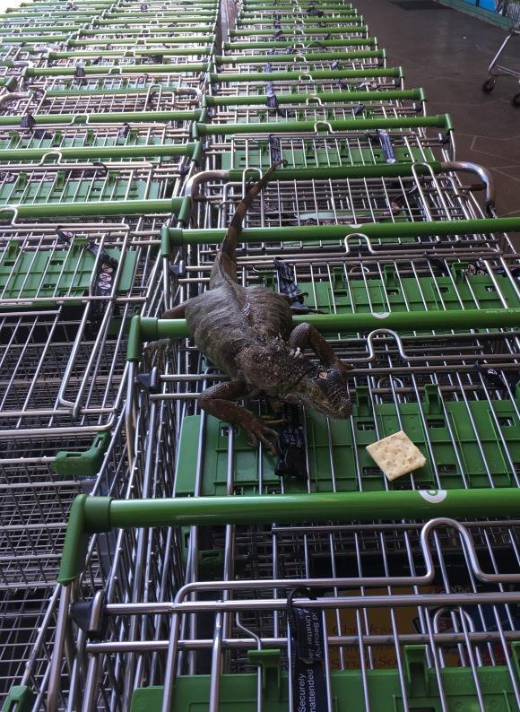 2017-3-12 iguana