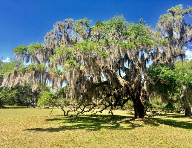 2017-4-18 ancient oak