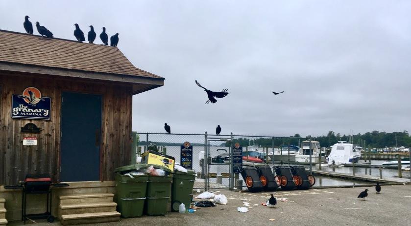 2017-5-30 birds landfill dumpster
