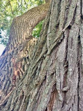 2017-6-5 maple tree
