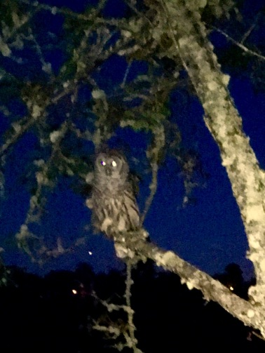 2017-7-20 barred owl