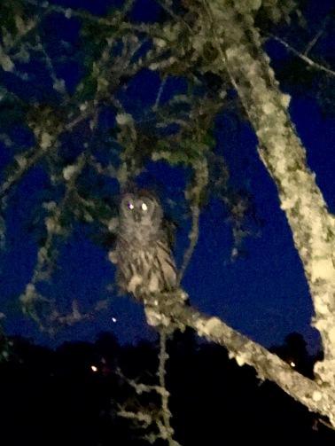 2017-7-20 barred owl