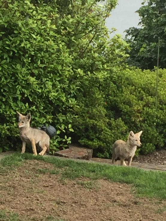 2017-7-20 coyotes