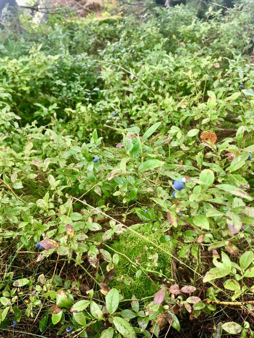 2017-8-17 blueberry patch patience